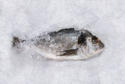 Proveedores de Pescado Congelado
