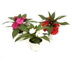Plantas ornamentales y rboles en madrid for Informacion de plantas ornamentales