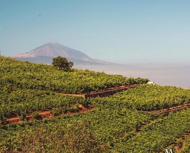 Nuestros viñedos. Nuestros viñedos en el Sauzal, a 600m sobre el nivel del mar y con vistas al Teide