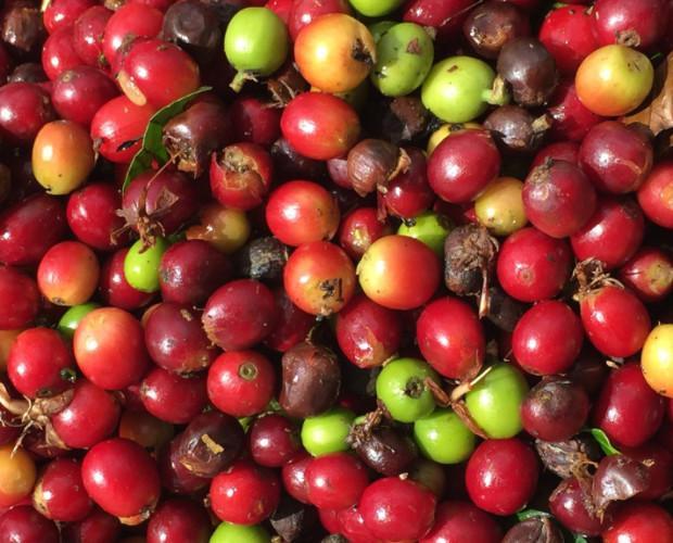 Café Verde.Café cosechado en altura en El Salvador