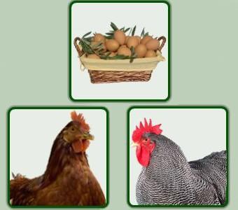 Proveedores de huevos. Huevos camperos y pollitas ponedoras