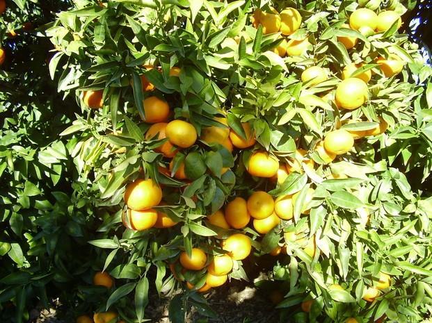 Naranjas. Mandarinas y naranjas tanto de mesa como zumo.