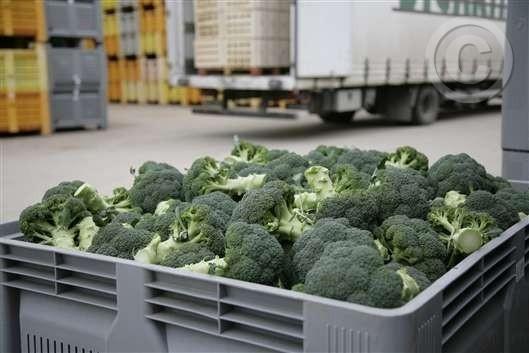 Vegetales. Brócoli tipo verde