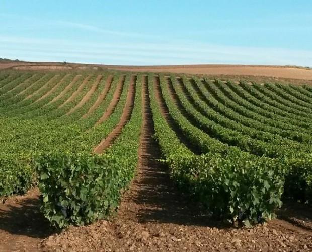 Viñedos. 28 hectáreas de viñedo propio