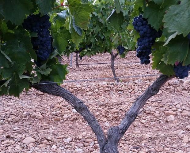 Uvas tempranillo. Materia prima de nuestros vinos