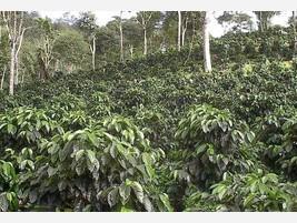 Proveedores Plantaciones de Café