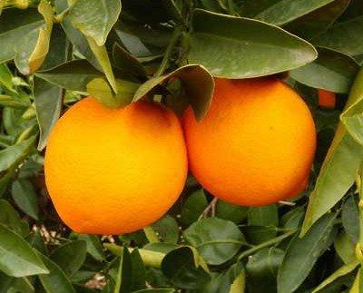 Naranjas de Zumo. Valencianas por kilo