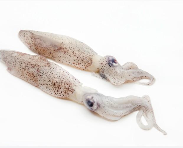 Cefalópodos Frescos. Calamares Frescos. Productos del mar