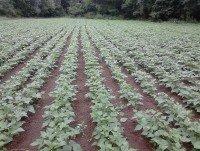 Cultivo de verdina