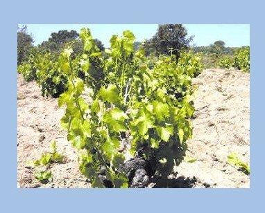 Vendimia Manual. Seleccionamos la uva en la misma viña