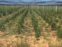 Proveedores Plantas de tomate