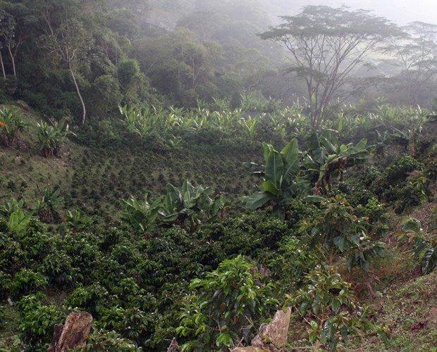 Finca - Café Porte. Área de cultivo a la sombra de árboles nativos