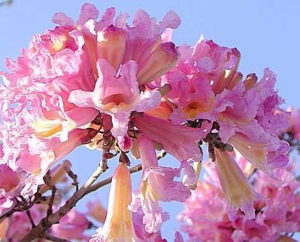 Aceites Esenciales.De los aceites utilizados en cosméticos, el aceite esencial de pau rosa es el que tiene más propiedades de regeneración y reparador de la piel.