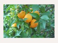 Proveedores Naranja  Navelate
