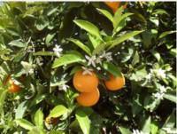 Proveedores Naranja Navel Pawell