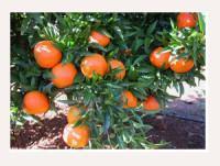 Proveedores Mandarina clementina clemenrubí
