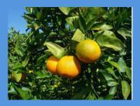 Proveedores Mandarina clementina orova