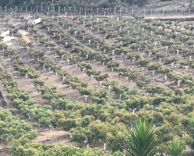 Consultores de Comercio Exterior.Producción de Aguacate Guatemala