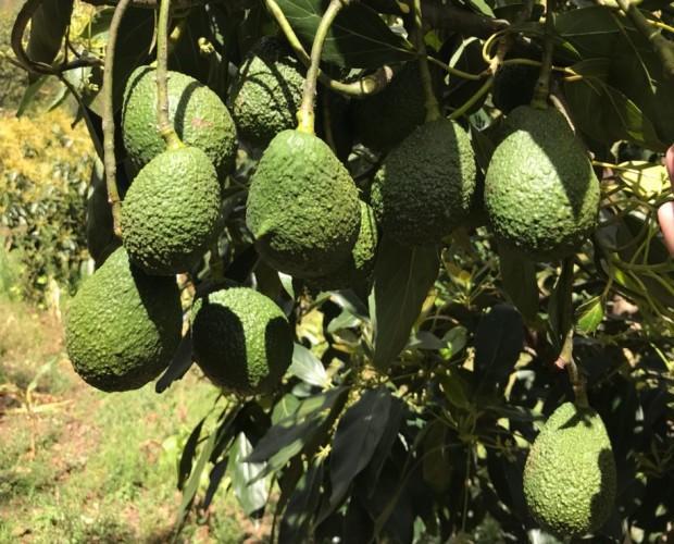 Producción de Aguacate Guatemala