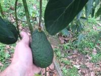 Proveedores Aguacates de Honduras