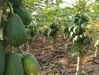 Papaya de Honduras