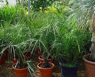 Plantas ornamentales. Contamos con gran variedad