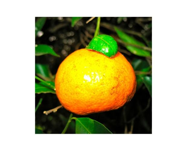 Aceite Esencial de Bergamota. Disponemos una vasta gama de aceites