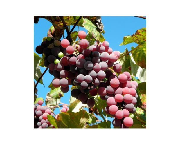 Aceites y mantecas naturales. Aceites de Uva (Pepita)