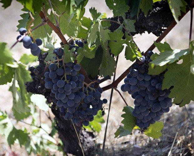 Uvas. Nuestra materia prima