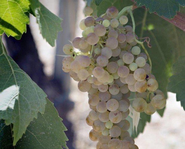 Uva blanca. De la mejor calidad