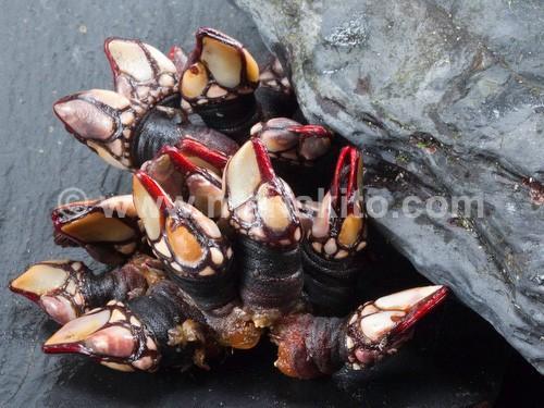 Percebe gordo. Exquisito manjar típico de las costas gallegas