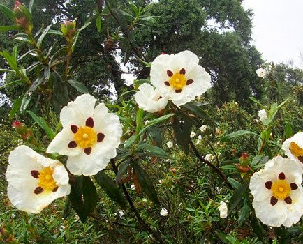 Jara. El aceite esencial de la jara toma un color amarillento con notas olfativas dulces y herbáceas