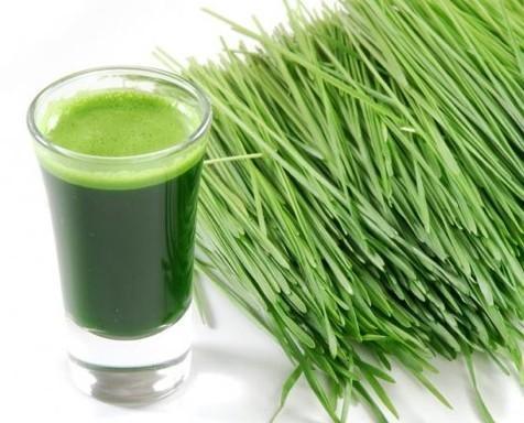 Wheatgrass supplier. Proveedores de zumo de trigo fresco