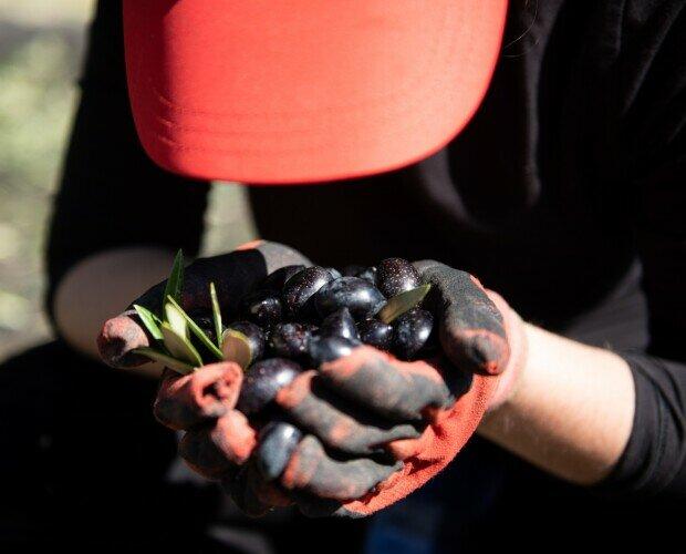 Aceituna picuda. Aceituna Picuda Autóctona en la Sierra de Albayate. Mujeres en la agricultura