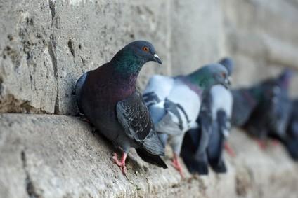 Control Aves. Control de palomas y otras aves plaga