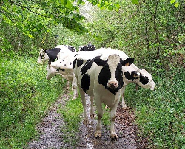 Vaca Pinta. Es una vaca productora de leche y que suele alcanzar un peso de 400-600 kg.