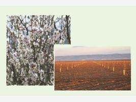Plantaciones de almendro