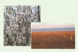 Plantaciones de almendro. Especialistas en cultivo y plantación