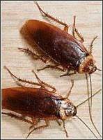 Cucarachas. Fumigación y control de plagas