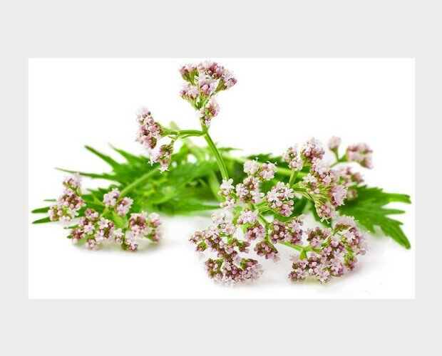 Valeriana. Utilizado para aliviar dolores muscular y de las articulaciones