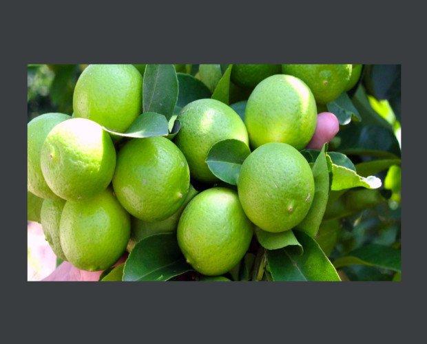 Limones.Se utiliza en fresco para recetas culinarias,y su zumo en la industria de preparadosalimenticios