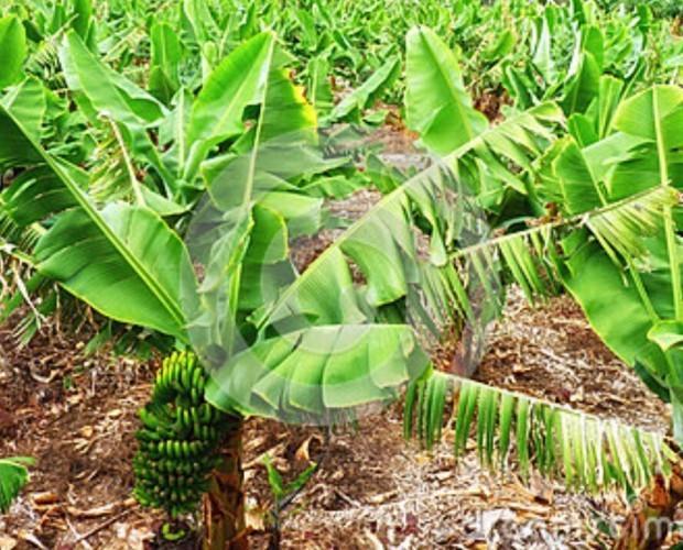Plátanos.Proveedores de plátanos