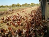 Proveedores Nuestras gallinas