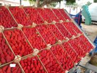 Proveedores Fresas