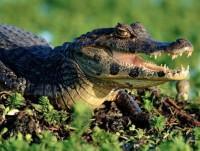 Proveedores Caimán cocodrilo
