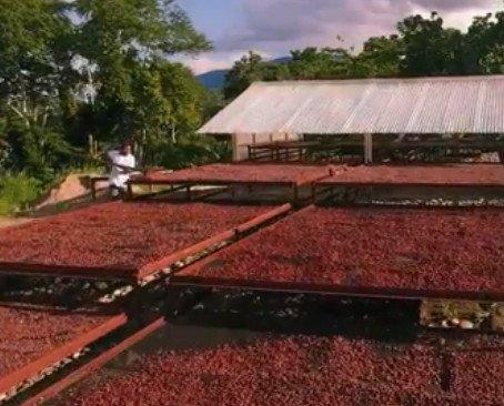 Cacao. Producción de Cacao Seco