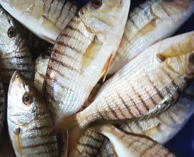 Herrera. Pescado común en las lonjas