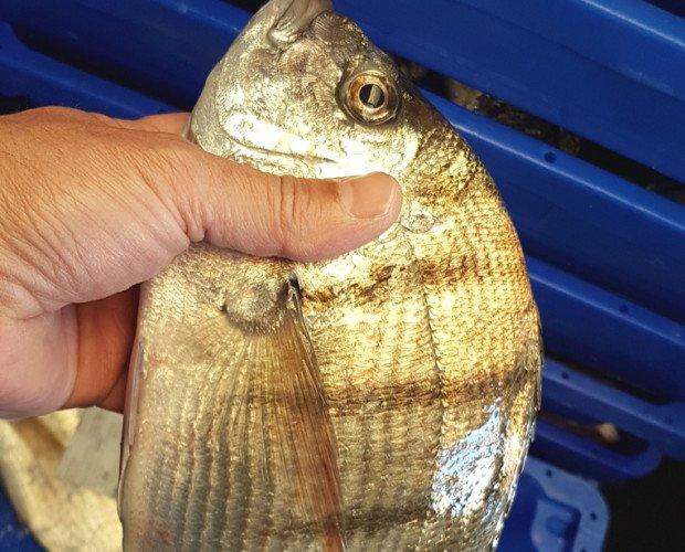 Sargo. El sargo es un pescado semigraso caracterizado por su sabor
