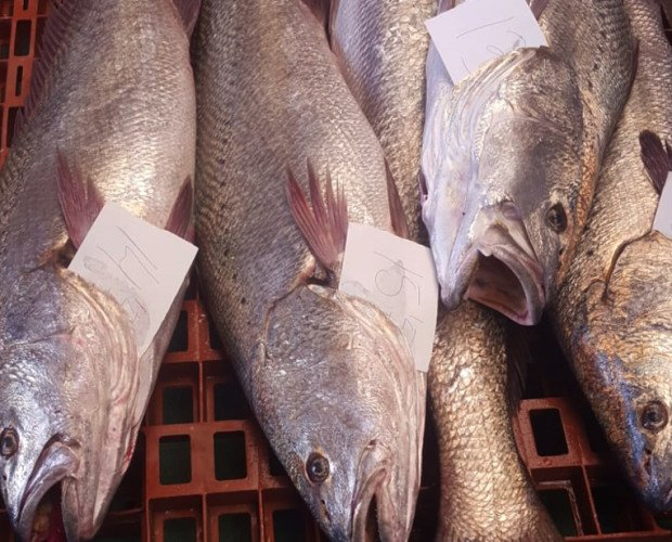 Corvina. Pescado blanco muy sabroso