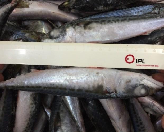 Mackerel. Pescado Mackerel, 20 cms de largo